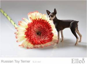Russian_Toy_Terrier_81