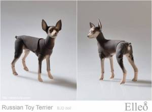 Russian_Toy_Terrier_80