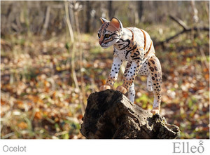 ocelot_wild_doll_cat_15